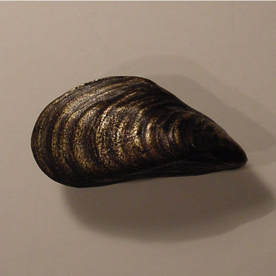 Modern Objects Scallops & Seahorses Collection 2'' W Mussel Knob Left Face in Antique Brass, 2'' W x 1'' D x 1'' H